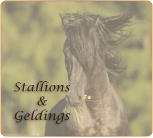Horses for Sale Stallions and geldings